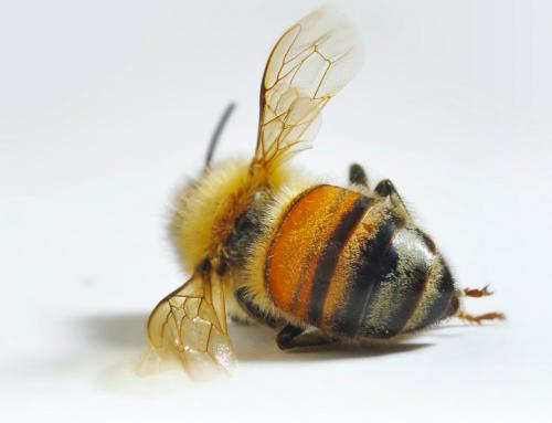 Die nächste Bedrohung für die Bienen…